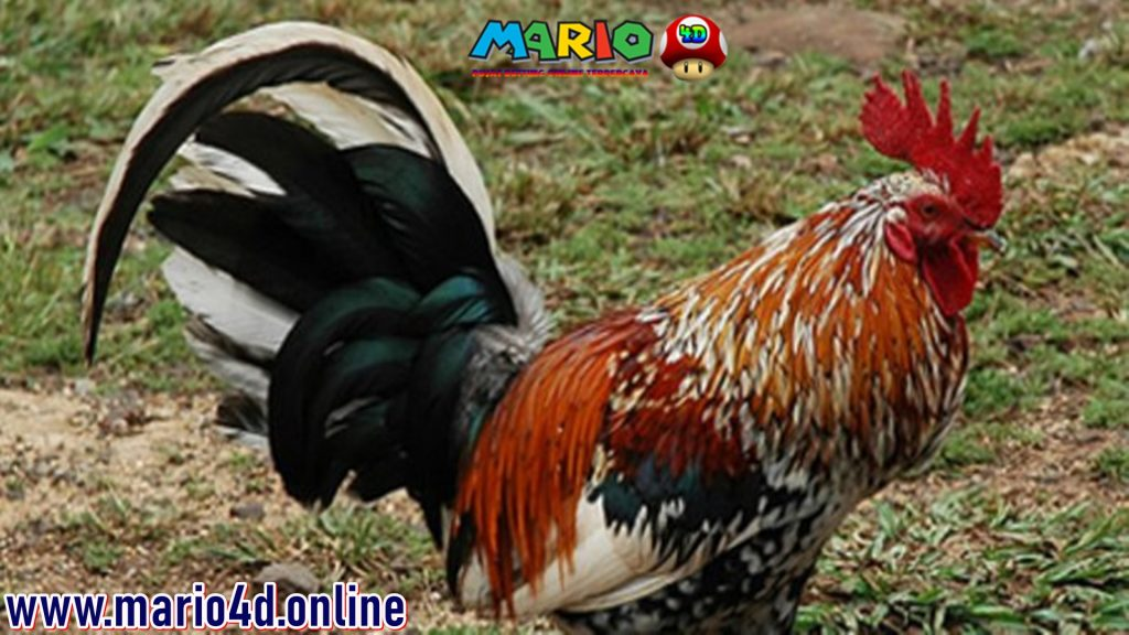 Ayam Jantan Di Prancis Menang DI Pengadilan