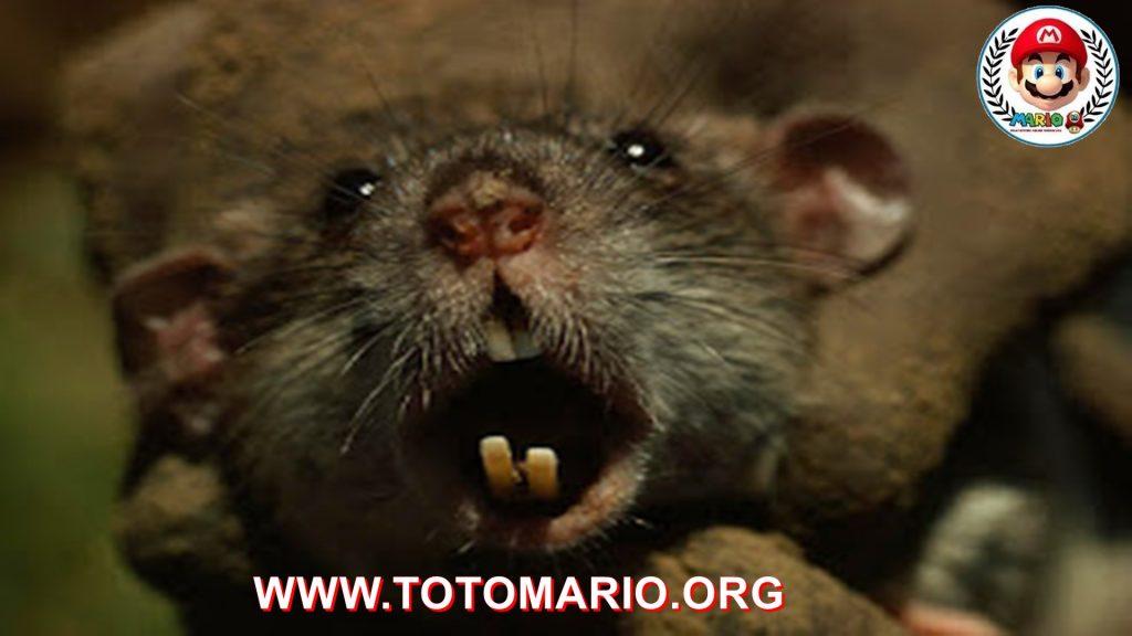 Tikus Raksasa ini Pemakan Bayi Manusia Tragis Bayi Malang Ini