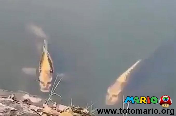 Geger Ikan Mas Berwajah Manusia di China